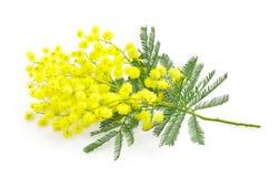 Ramo del fiore o della mimosa dell'acacia, simbolo dell'8 marzo, interna delle donne Fotografia Stock Libera da Diritti