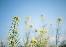 Ramo del fiore del seme di ravizzone in cielo blu Immagini Stock Libere da Diritti