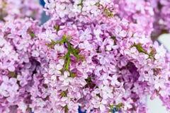Ramo del fondo lilla vulgaris del fiore della siringa e del tetto della casa Fotografia Stock