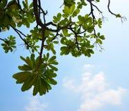 Ramo del frangipane sui precedenti 0054 del cielo blu Fotografie Stock Libere da Diritti
