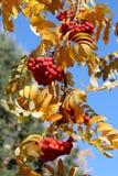 Ramo del frassino rosso americano della montagna Immagini Stock