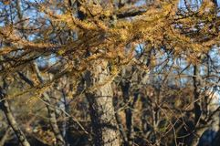 Ramo del larice contro un fondo degli alberi del primo piano Fotografia Stock
