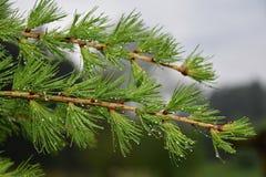 Ramo del larice dopo pioggia con le gocce Fotografie Stock