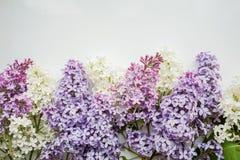 Ramo del lillà su un fondo bianco Fotografia Stock