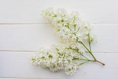 Ramo del lillà su un fondo bianco Fotografia Stock Libera da Diritti