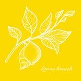 Ramo del limone con le foglie e la frutta naturale Illustrazione di vettore Fotografia Stock Libera da Diritti