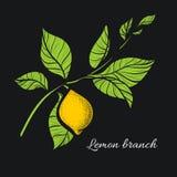 Ramo del limone Disegno botanico di contorno Vettore Fotografie Stock