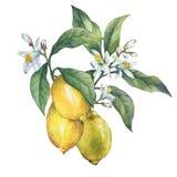 Ramo del limone fresco degli agrumi con le foglie verdi ed i fiori illustrazione vettoriale