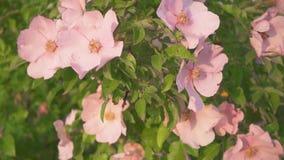 Ramo del movimento lento con i cinorrodi rosa alla luce solare stock footage