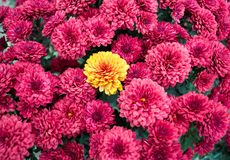 Ramo del otoño de multiflora de los crisantemos fotografía de archivo