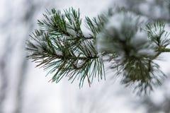 Ramo del pino Fotografia Stock