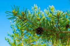 Ramo del pino Fotografie Stock