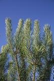 Ramo del pino Fotografia Stock Libera da Diritti