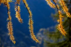 Ramo del pino con effetto luce bordo Fotografia Stock