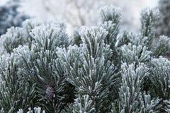 Ramo del pino con gli aghi lunghi nel gelo Fotografia Stock Libera da Diritti