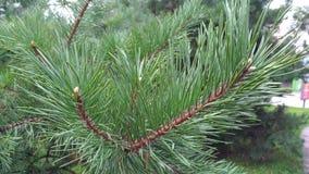 Ramo del pino con gli aghi verdi Fotografie Stock