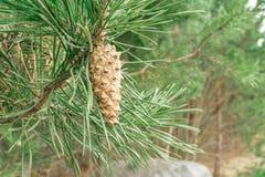 Ramo del pino con gli aghi verdi che appendono giovane cono acerbo, nel bokeh del fondo di giovani pini e di grande pietra Immagini Stock