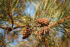 Ramo del pino con i coni Fotografie Stock Libere da Diritti