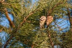 Ramo del pino con i coni Fotografia Stock Libera da Diritti