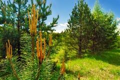 Ramo del pino con i coni nella foresta con cielo blu Immagini Stock Libere da Diritti