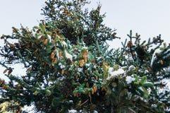 Ramo del pino con i coni nella neve - fondo di feste di Natale immagini stock libere da diritti