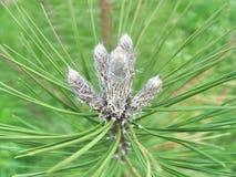 Ramo del pino con i germogli Fotografia Stock
