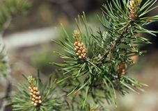 Ramo del pino con i giovani germogli ed aghi immagine stock libera da diritti