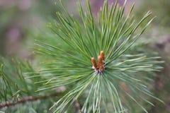Ramo del pino con il germoglio Immagine Stock