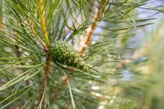 Ramo del pino con il giovane primo piano verde dei coni immagini stock libere da diritti