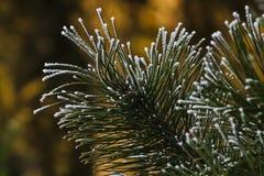 Ramo del pino coperto di fine della neve su Fotografia Stock Libera da Diritti
