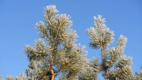 Ramo del pino coperto di neve contro il cielo blu archivi video