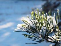 Ramo del pino di Snowy in Lit della natura da The Sun Fotografia Stock