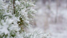 Ramo del pino di Snowy nella foresta di inverno ed in neve di caduta archivi video