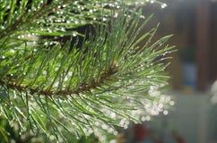 Ramo del pino dopo il glisten delle gocce di pioggia Fotografia Stock