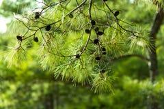 Ramo del pino, fondo conifero del bello pino Fotografie Stock