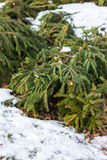 Ramo del pino nell'inverno Immagini Stock