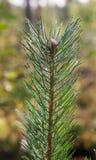 Ramo del pino nella priorità alta Fotografia Stock