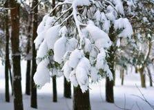 Ramo del pino in primo piano della neve Immagine Stock Libera da Diritti