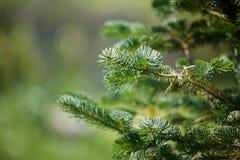 Ramo del pino in priorità alta Fotografie Stock Libere da Diritti