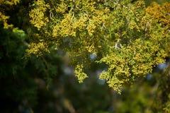 Ramo del pino in priorità alta Fotografia Stock