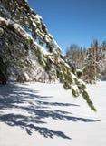 Ramo del pino in priorità alta, neve bianca Immagini Stock Libere da Diritti