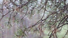 Ramo del pino spinoso di verde della primavera con le gocce di pioggia archivi video