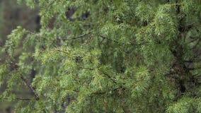 Ramo del pino spinoso di verde della primavera con le gocce di pioggia stock footage