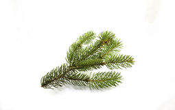 Ramo del pino su un fondo bianco Fotografia Stock