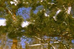 Ramo del pino sul fondo del cielo Fotografia Stock Libera da Diritti