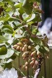 Ramo del pistacchio Fotografie Stock Libere da Diritti