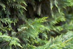Ramo del primo piano dell'albero di cipresso Fondo verde immagine stock libera da diritti