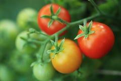 Ramo del primo piano rosso maturo dei pomodori Fotografia Stock Libera da Diritti