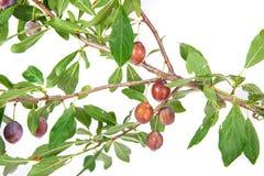 Ramo del prugnolo con i frutti e le foglie Immagini Stock Libere da Diritti