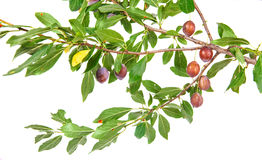 Ramo del prugnolo con i frutti e le foglie Immagine Stock